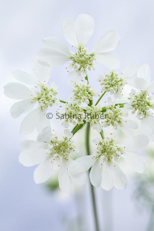 Orlaya grandiflora - white lace flower