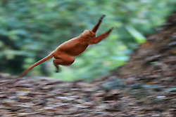 A red Leaf monkey runs on the ground in Danum Valley Conservation Area, on August 5, 2019 near Lahad Datu city, State of Sabah, North of Borneo Island, Malaysia. Palm oil plantations are cutting down primary and secondary forests vital as habitat for wildlife including the critically endangered red leaf monkeys. Photo by Emy/ABACAPRESS.COM