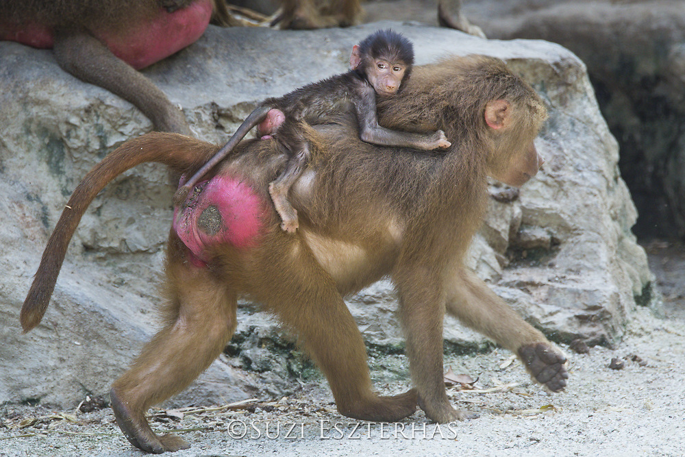Hamadryas Baboon <br /> Papio hamadryas<br /> Native to Africa<br /> *captive