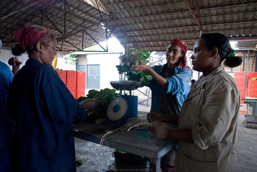 Comptage et préparation des produits à la ferme Genesis du Hollandais Gert Van Putten. Cela fait vingt ans que ce Hollandais a installé sa ferme Genesis en bordure de Debre Zeit, à une heure d'Addis Abeba. Il a plus de 600 employés. Ses activités principales sont l'élevage de bétail et de poulet, la production d'oeufs, d'aubergines, de salades, onions, alfalfa, etc. Van Putten possède un super marché et a aidé des centaines d'Ethiopiens à se lancer dans l'élevage de poulets. Debre Zeit août 2011.
