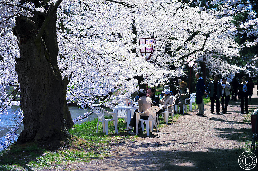 Japanese people relaxing and drinking green tea under the wonderful cherry blossoms that line the moat of Hirosaki castle. Northern Japan in spring time.<br />