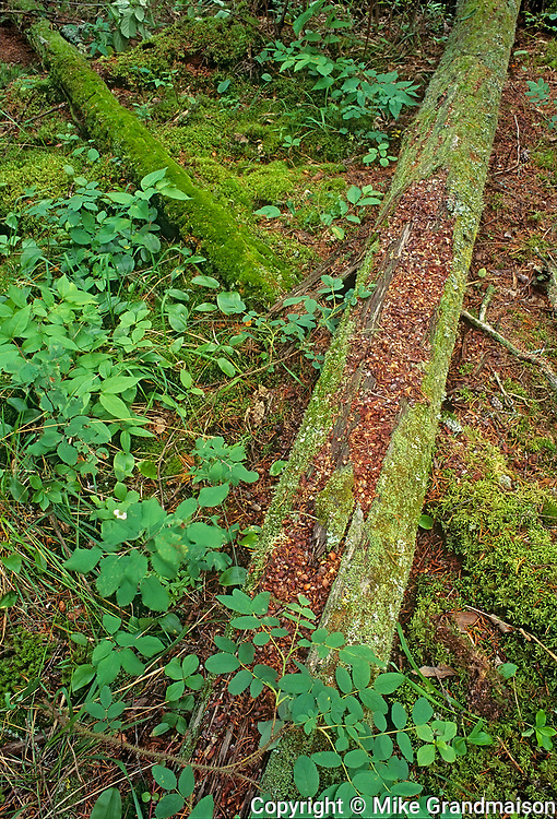 Old trees on forest floor, Whiteshell Provincial Park, Manitoba, Canada