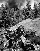 Pine throne, near Mt. Shasta, northern Californa. A Pine stump which has been split apart by lighting, complacently rests against a large boulder.