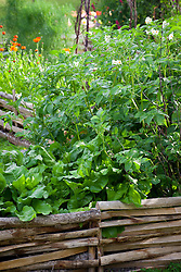 Potatoes in the vegetable patch