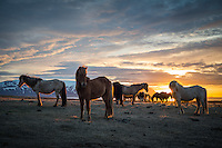 Icelandic horses at sunset in Skagafjörður, North Iceland.