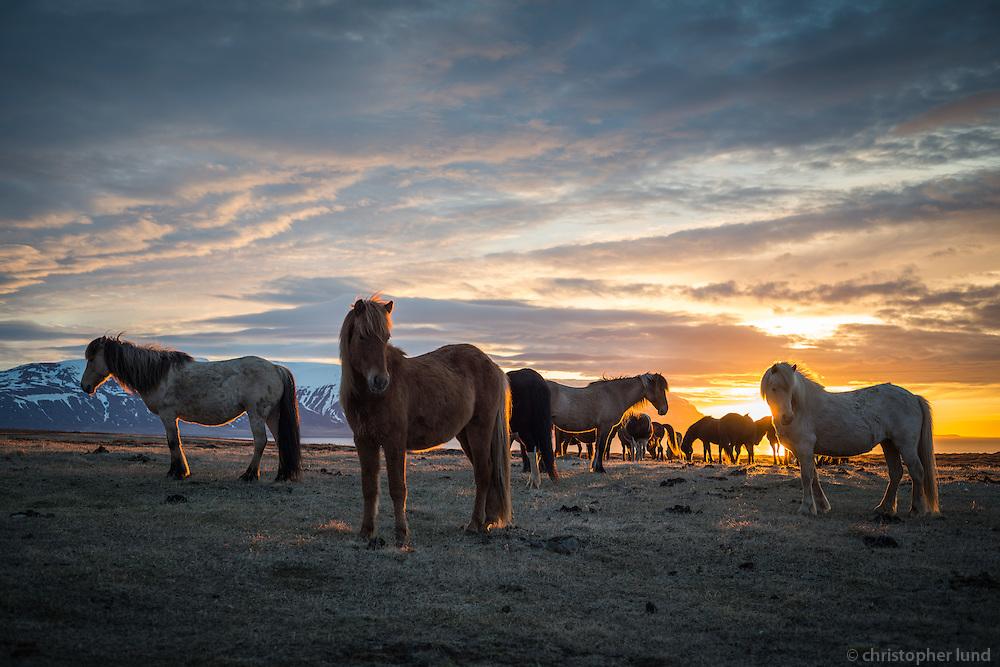 Icelandic horses at sunset in Skagafjörður, North Iceland.