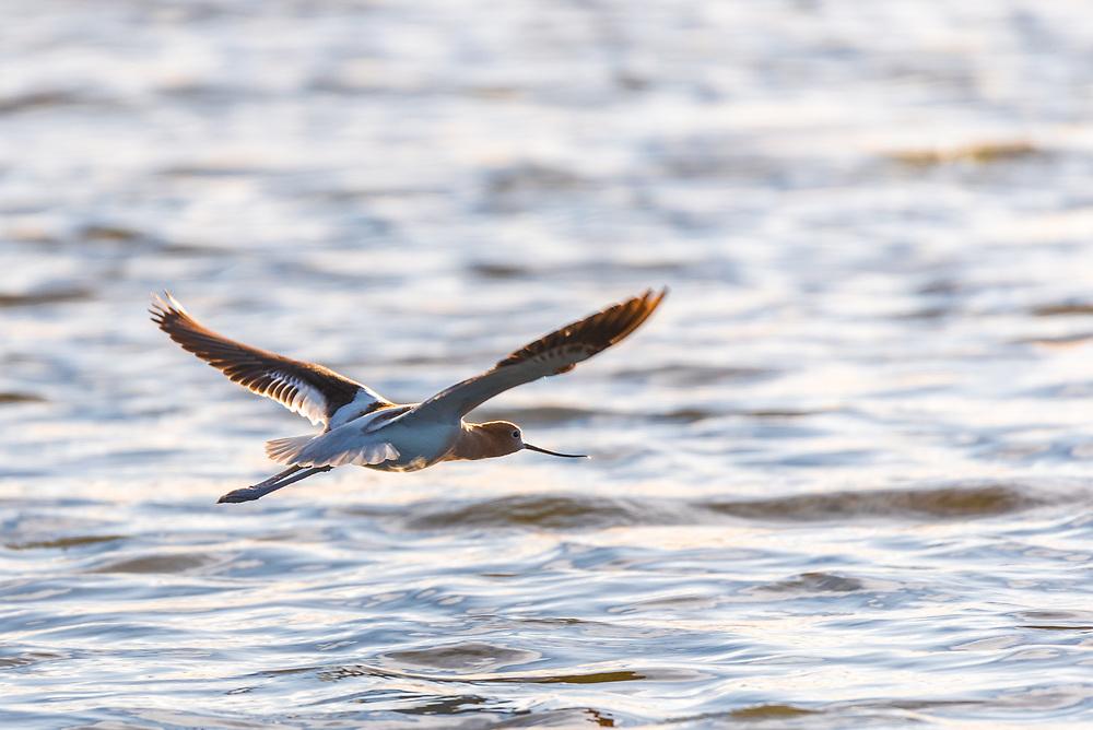 An American Avocet flying above a lake.<br /> <br /> Camera <br /> NIKON D610<br /> Lens <br /> 150.0-600.0 mm f/5.0-6.3<br /> Focal Length <br /> 600<br /> Shutter Speed <br /> 1/800<br /> Aperture <br /> 6.3<br /> ISO <br /> 250
