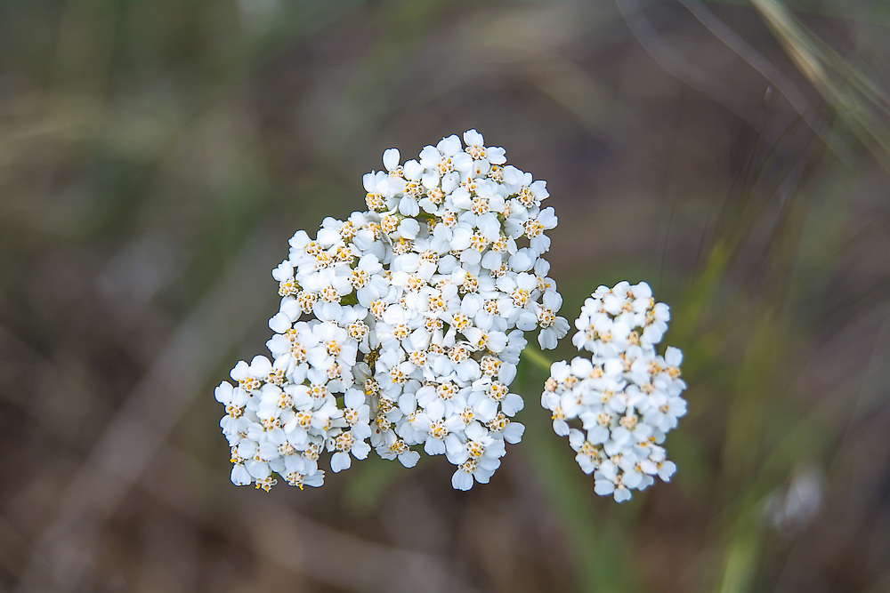 Common Yarrow is one of the most common members of the aster family in all of the northern hemisphere. This one was photographed up close in the deseet scrub in the Yakima, Washington area.