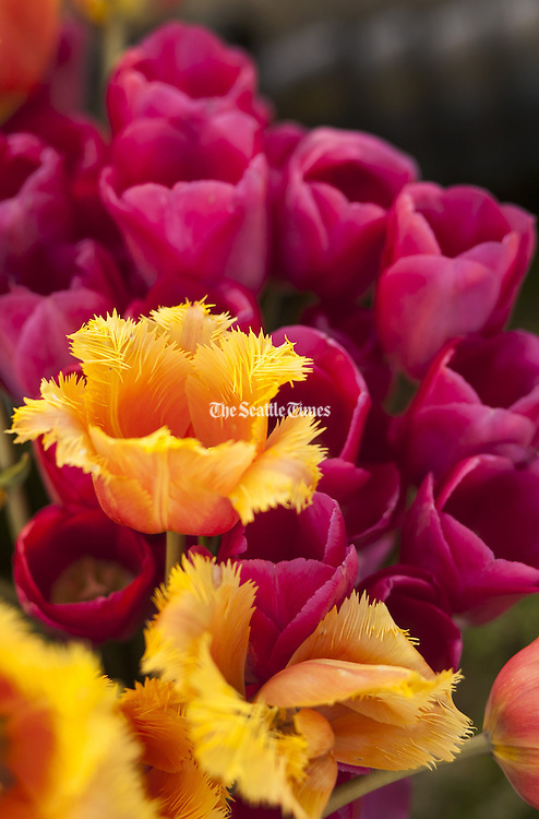 Fringed and fuchsia tulips on display for opening day of the Columbia City Neighborhood Farmer's Market. (Ellen M. Banner / The Seattle Times)