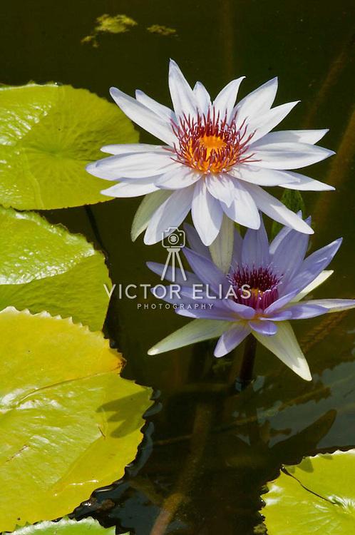 Water lillies on pond. Riviera Maya, Quintana Roo. Mexico.