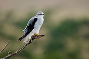 Black-shouldered Kite (Elanus caeruleus) from Masai Mara, Kenya.