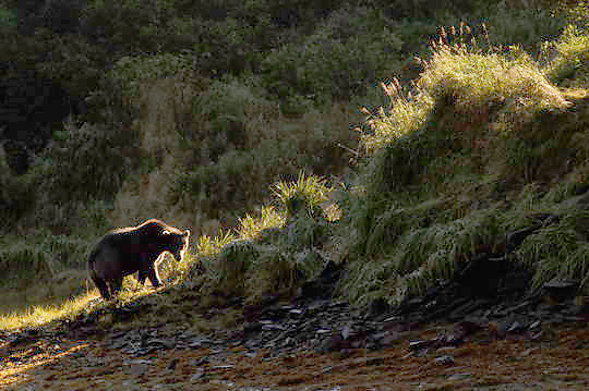Alaskan Brown Bear (Ursus middendorffi) Adult walking along embankment, backlit. Katmai National Park. Alaska.