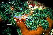 UNDERWATER MARINE LIFE CARIBBEAN, generic Symbiotic shrimp Pereclimenes pedersoni