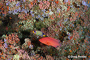 vermillion rock cod, coral rock cod, or coral cod, Cephalopholis miniata, and regal angelfish, Pygoplites diacanthus, under coral ledge, Rainbow Reef, North Male Atoll, Maldives ( Indian Ocean )