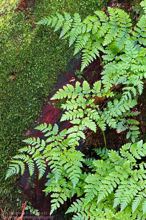 Bracken Ferns (Pteridium aquilinium) growing out of a stump at Campbell Valley Park in Langley, British Columbia, Canada