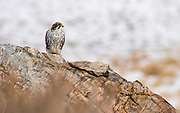 A prarie falcon waits atop a granite perch on the shore of the Great Salt Lake.