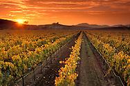 Vineyards and sunset, Carneros Region, Napa County, California
