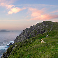 Cute blond dog observing the sunset at the cliffs of Valentia Island, County Kerry Ireland