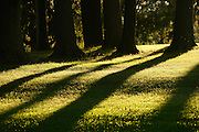 Backlit trees and their shadows on grass.