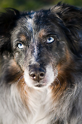 Austrailian Shepherd.  Owners Nancy & Bob Kroll , Pet Portrait Photography