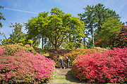 UNITED KINGDOM, London: 10 May 2017 Visitors enjoy the weather as they take a stroll through thousands of colourful Azaleas in Windsor Great Park this afternoon. Rick Findler / Story Picture Agency