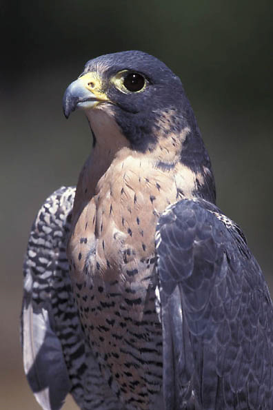 Peregrine Falcon, (Falco peregrinus) Female. Portrait. (ENDANGERED SPECIES)  Captive Animal.