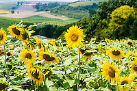 France, Saint-Fort-sur-Gironde. Sunflowers above the Gironde estuary.