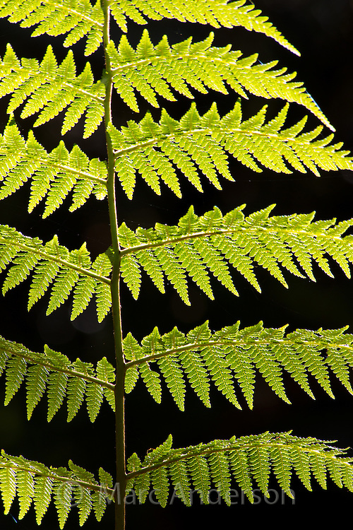 Detail of the leaf of a tree fern in cloud forest in the highlands of Papua New Guinea.