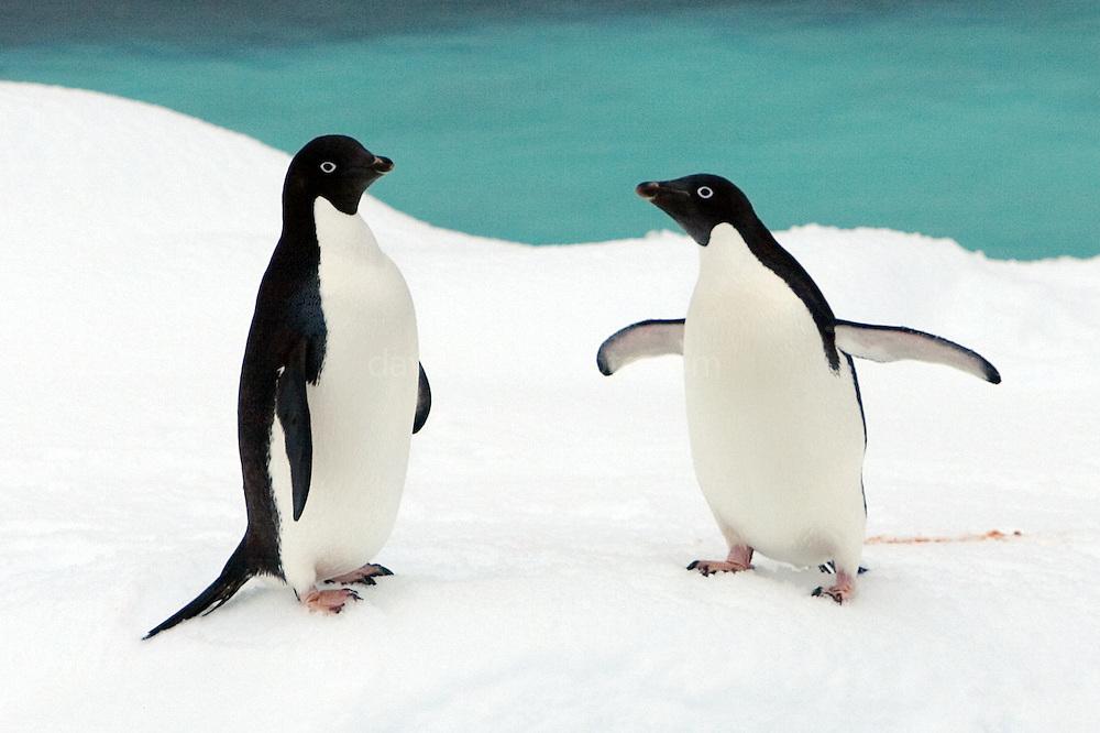 Adele Penguin leaves a trail of pink poop - Southern Ocean, 2007