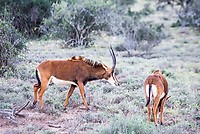 Female Sable Antelope, Mount Camdeboo, Eastern Cape, South Africa