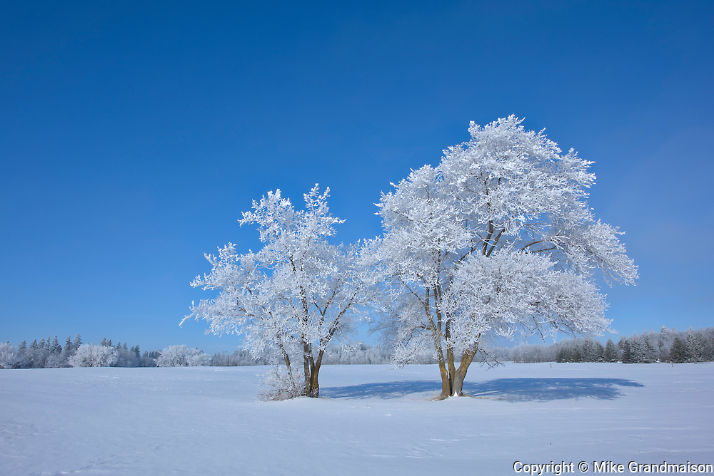 Hoarfrost covered cottonwood trees <br />Birds Hill Provincal Park<br />Manitoba<br />Canada