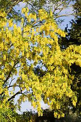 Laburnum tree in flower