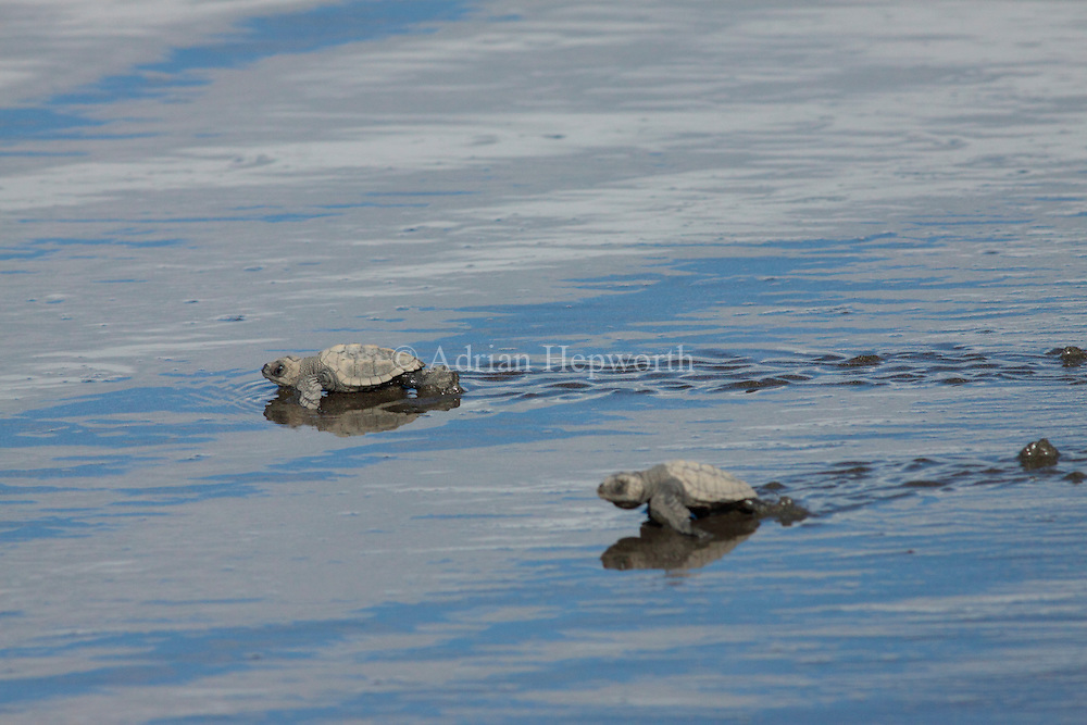 Olive Ridley Turtle hatchlings (Lepidochelys olivacea) walking to ocean..Ostional Wildlife Refuge, Guanacaste, Costa Rica.<br />