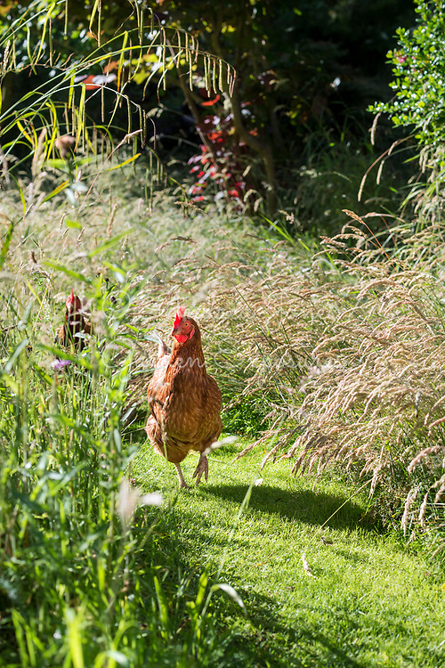Hens walking down mown path through meadow