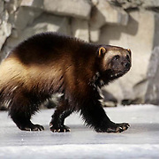 Wolverine, (Gulo gulo) Adult on frozen river. Winter. Rocky mountains. Montana.  Captive Animal.