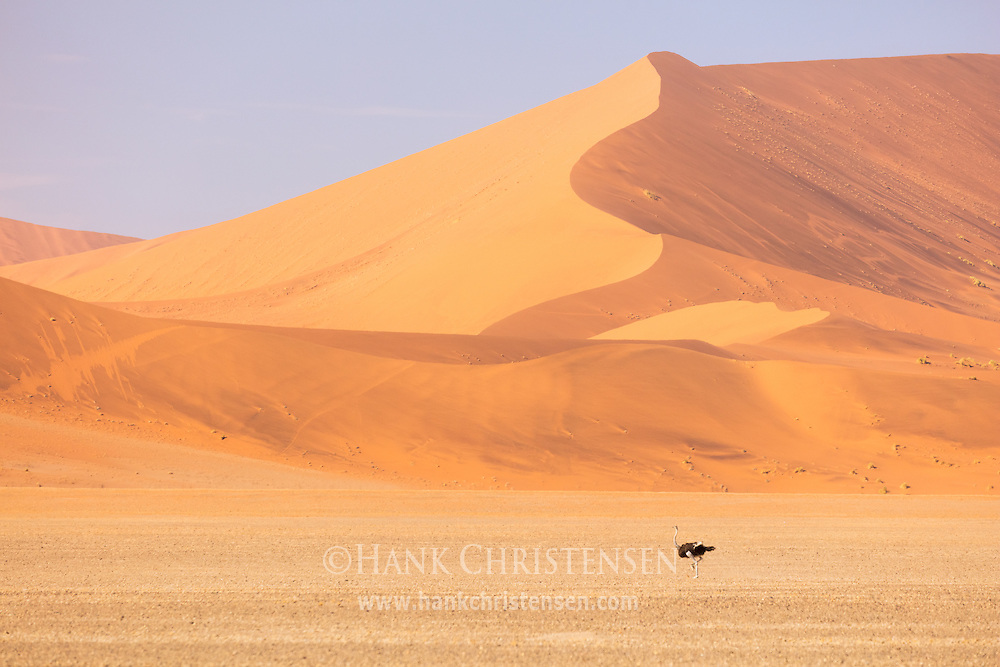 An ostrich moves through a flat valley surrounded by walls of sand.  The Namib Desert contains the largest sand dunes in the world, some reaching over 1000 feet tall, Namib-Naukluft National Park, Namibia.