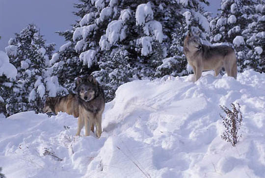 Gray Wolf, (Canis lupus) Pack. Winter. Montana.  Captive Animal.