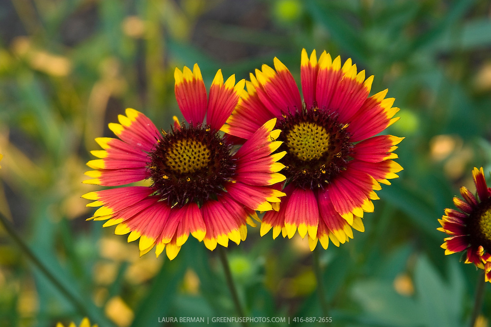 Blanket flower (Gaillardia pulchella), <br /> flowering perennial plant native to the central United States.<br /> It is also known as Firewheel, Indian blanket, Indian Blanketflower, or Sundance.