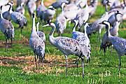 Israel, Hula Valley, Grey Cranes Grus grus at the Agamon lake winter January