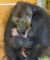 © Licensed to London News Pictures; 20/08/2020; Bristol, UK. A baby gorilla is cradled by new mum Kala, born at Bristol Zoo Gardens helping to secure the future of this critically endangered species. The tiny western lowland gorilla arrived in the early hours of Wednesday, August 19 in the Gorilla House at the zoo. Nine-year-old Kala who came to Bristol from Germany in 2018 gave birth naturally, overnight to the infant with dad, Jock, just a few metres away and the rest of the family troop nearby. Keepers arrived to find the little gorilla nestling in its mother's arms. Both Kala and her baby were doing very well. The new gorilla joins a troop of six gorillas at the Zoo, which are part of a breeding programme to help safeguard the future of western lowland gorillas. One of Bristol Zoological Society's flagship conservation projects focuses on western lowland gorillas in Monte Alén National Park, Equatorial Guinea, an area highlighted by the IUCN as critically important for the conservation of this species. Photo credit: Simon Chapman/LNP.