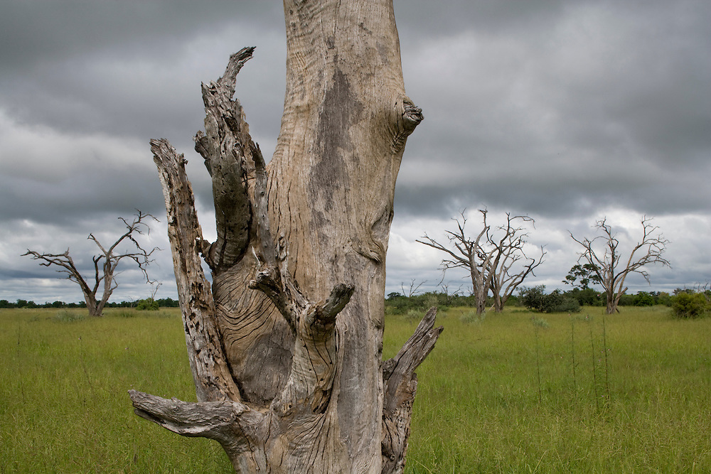 Africa, Botswana, Chobe National Park,  Bleached tree surrounded by green grass growing in Savuti Marsh during rainy season