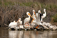 Bear River Bird Refuge the 5th of May a common resting place for the American White Pelican.