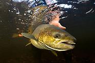 Atlantic Salmon, Underwater