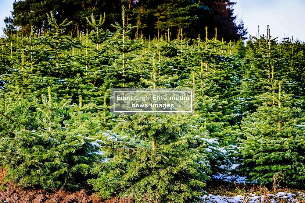 Christmas trees growing on a farm in South Lanarkshire<br /> <br /> (c) Andrew Wilson | Edinburgh Elite media