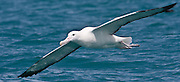 55x25cm print of a Southern Royal Albatross gliding a metre above the ocean's surface, New Zealand.