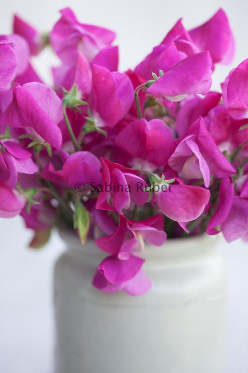 Lathyrus odoratus 'Annie B. Gilroy' - sweet pea