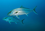 Great Amberjack, Seriola dumerili, school near the Atlas shipwreck offshore Morehead City, North Carolina, United States.