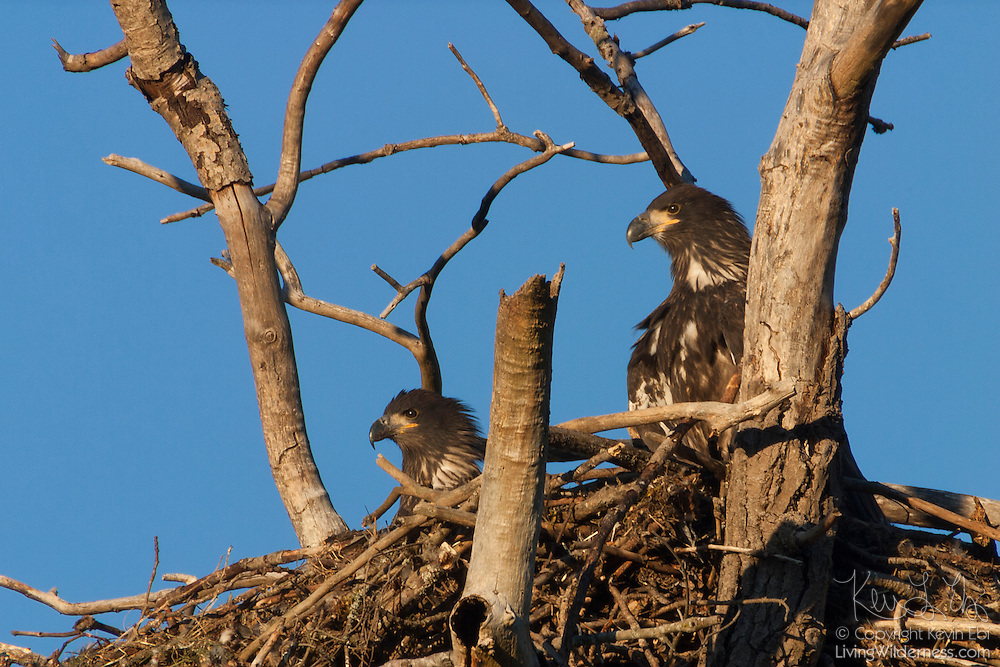 Two juvenile bald eagles (Haliaeetus leucocephalus) sit together on their nest in Puyallup, Washington. While young bald eagles are nearly as big as their parents by the time they are two months old, they do not develop their distinctive white heads until they are four or five years old.
