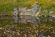 Waterlilies at edge of poond<br />Isle aux Morts<br />Newfoundland & Labrador<br />Canada