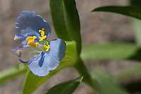 Dayflower (Commelina erecta), Travis County, Texas